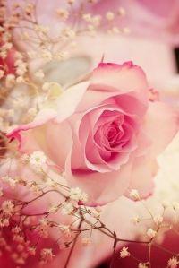 rose bush 3