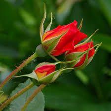 thornsy