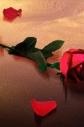 rose crop 2